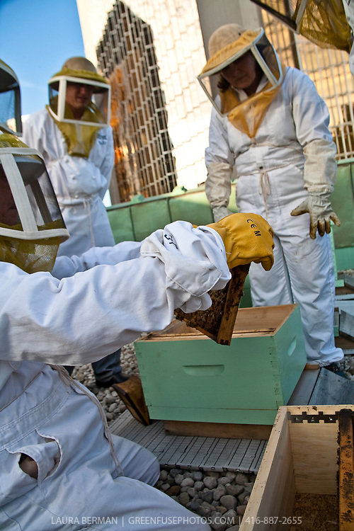 Urban beekeepers of the Toronto Beekeepers Cooperative inspecting hives on the roof of the Royal York Hotel in downtown Toronto.