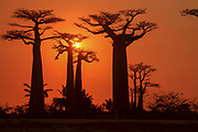 Africa, Madagascar, Morondava, Grandidier's Baobab (Adansonia grandidieri) Avenue at sunset. This tree is endemic to the island