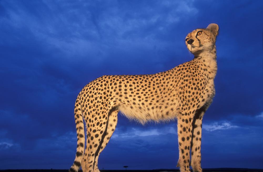 Kenya, Masai Mara Game Reserve, Flash-lit portrait of Adult Female Cheetah (Acinonyx jubatas) standing at dusk, viewed from below