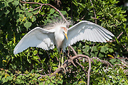 Cattle Egret, Ochsner Island, Louisiana, North America