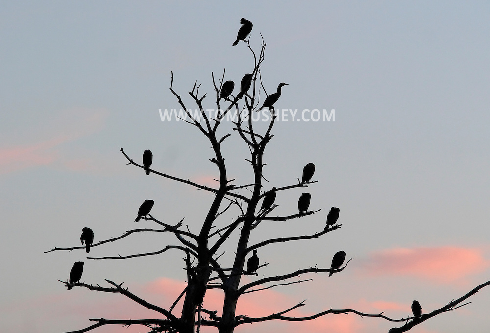 Middletown, New York - Double-crested cormorants gather in the branches of a tree at Fancher-Davidge Park in Middletown on April 27, 2010.