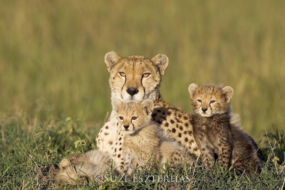 Cheetah<br /> Acinonyx jubatus<br /> Mother &amp; 8 week old cub(s) resting<br /> Maasai Mara Reserve, Kenya