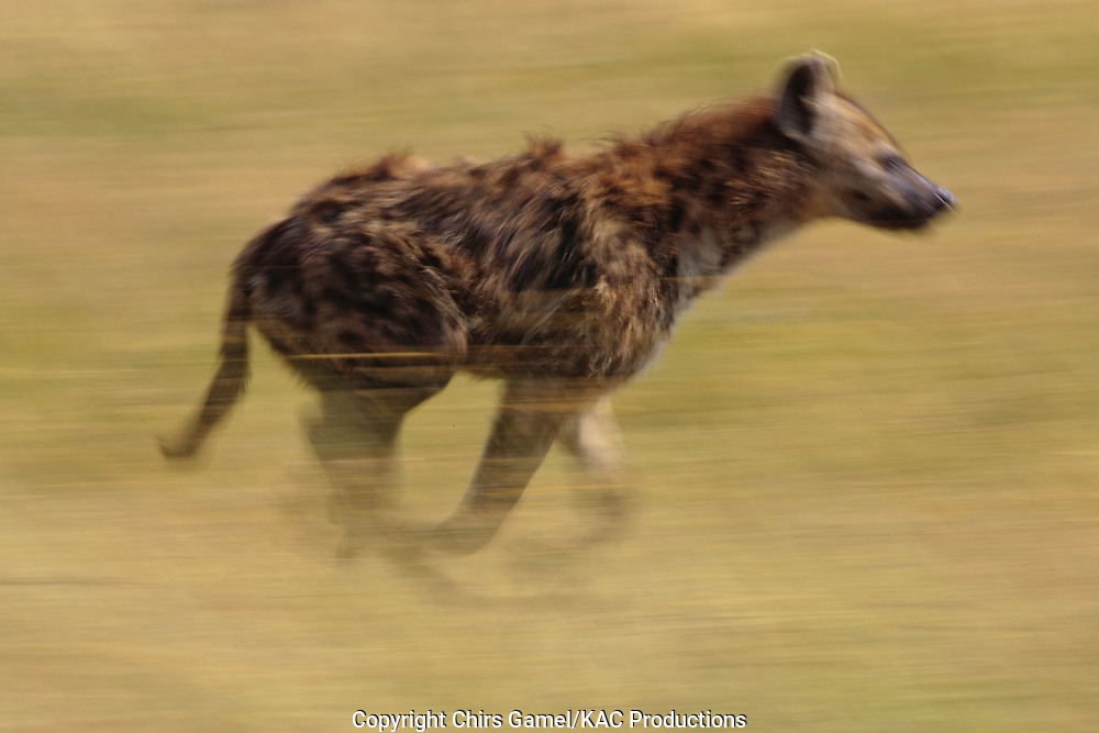 Spotted hyaena running, blurred motion, panning.