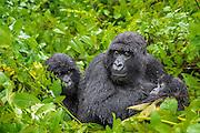 Mother caring for her babies. Picture taken at Gorilla trekking in Rwanda. On the first out of three gorilla trekking days we had a havy rain shower, with thunderstorm and lightning. No need to say that both the photographers and the gorillas were not happy with the weather | Mor passer på barna. Bildet er tatt i Rwanda på første av tre gorilla trekkinger, og under det første møtet med gorillaer hadde vi lyn og torden med masse regn. Det er vel unødvendig å si at både fotografene og gorillaene var missfornøyde med været.