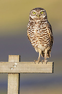 As a ground dweller, the burrowing owl is unique among raptors. Its extremely long legs and torso aid the tiny bird in its subterranean life style.