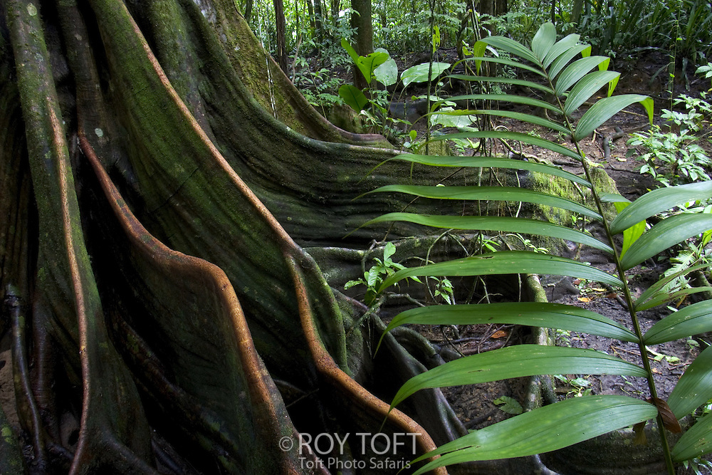 Tree roots on the rainforest floor.