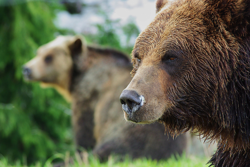 Grizzly bears on Grouse Mountain, Vancouver, British Columbia, Canada