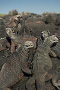 Marine Iguanas (Amblyrhynchus cristatus) on rock, Santa Cruz Island, Galapagos archipelago, Ecuador, South America