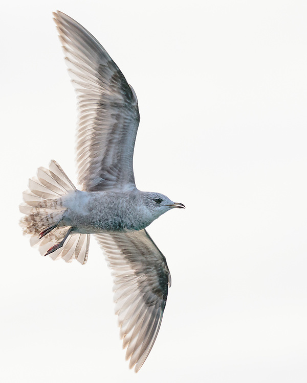 Larus canus, young, Kachemak Bay near Homer, Alaska