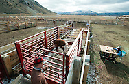 PRICE CHAMBERS / NEWS&amp;GUIDE<br /> Thomas Watsabaugh closes the gate to a scale where each calf is weighed before being seperated by their sex on weening day.