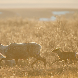 Mother caribou and calf on their westward migration in the Utukok Uplands area, Northwestern Alaska