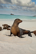 Galapagos sea lion(s) (Zalophus californianus) on the beach of Espanola Island, Galapagos Archipelago - Ecuador.