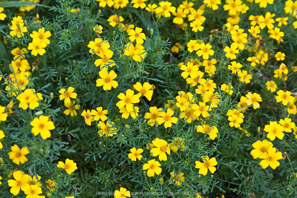 The edible flowers of Lemon Gem Signet marigold (Tagetes tenuifolia 'Lemon Gem')