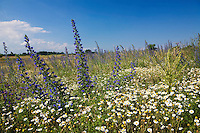 Blumenwiese mit Natternkopf, Echium vulgare, und Ackerhundskamille, Anthemis arvensis, Ost Slowakei / Meadow with Viper's Bugloss, Echium vulgare, Camomile, Anthemis arvensis, East Slovakia