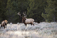 The Rocky Mountain elk (Cervus elaphus) is a subspecies of elk found in the Rocky Mountains and adjacent ranges of Western North America. The winter ranges are most common in open forests and floodplain marshes in the lower elevations. In the summer it migrates to the subalpine forests and alpine basins. The total wild population is about one million individuals.