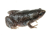 Eastern Narrow-mouthed Toad (Gastrophryne carolinensis) <br /> United States: Alabama: Tuscaloosa Co.<br /> Tulip Tree Springs off Echola Rd.; Elrod<br /> 2-Jul-2018<br /> J.C. Abbott #3063