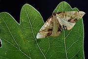Hobelspanner (Plagodis dolabraria)