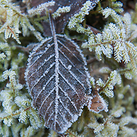 As I walked down a trail in Juneau in late fall, I looked down and noticed in an area the frost still on the leaves late into the day. It was a week of cold temperatures as the lake by Mendenhall Glacier had frozen over in just a couple of days. As I slowed down to check out the area I looked for some some full leaves to photograph and capture the frost as a first sign of winter in southeast Alaska.