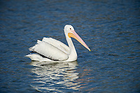 American White Pelican (Pelecanus erythrorhynchos) swimming along edge of Lake Chapala, Jalisco, Mexico