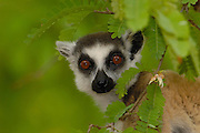 Ring-tailed Lemur (Lemur catta) portrait amid foliage, vulnerable, Berenty Reserve, southern Madagascar