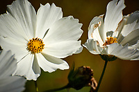 White Cosmos flowers. Autumn Backyard Nature in New Jersey. Image taken with a Nikon 1 V3 camera and 70-300 mm VR telephoto zoom lens (ISO 200, 300 mm, f/5.6, 1/1600 sec).