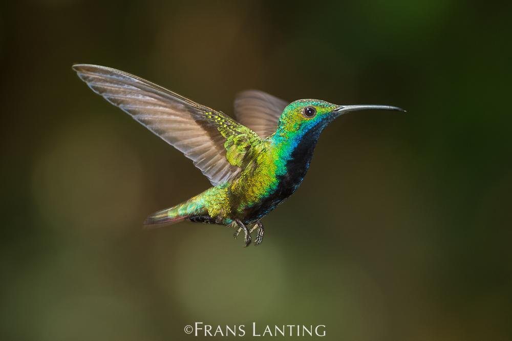 Black-throated mango male hummingbird in flight, Iguazu National Park, Argentina