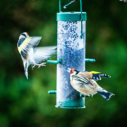 Birds feeding in the garden, 28/12/2014.