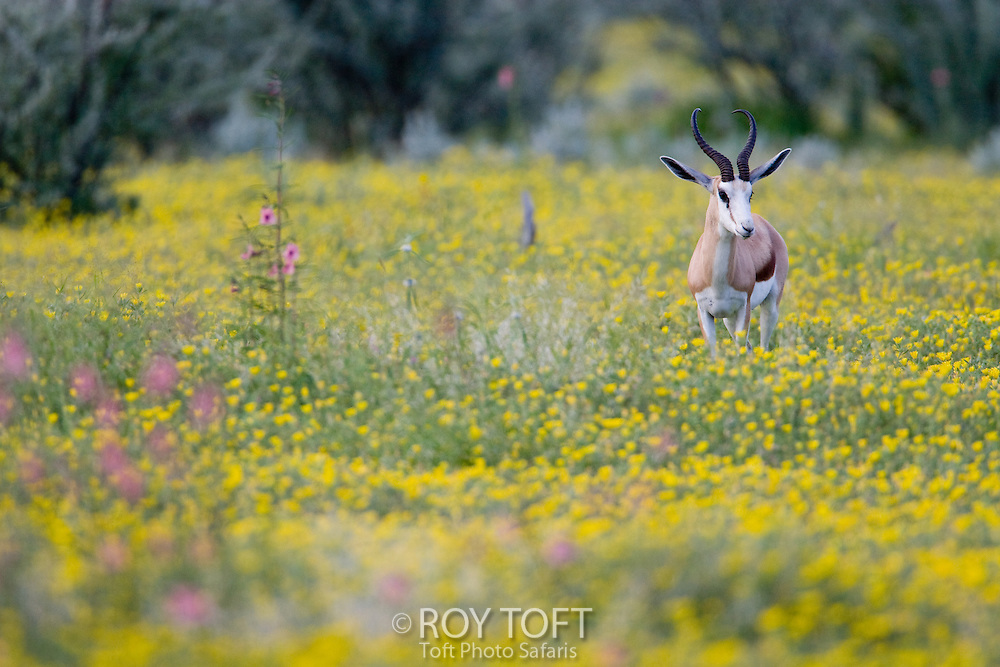Portrait of a Springbok (Antidorcas marsupialis) standing in a field of wildflowers, Namibia, Africa
