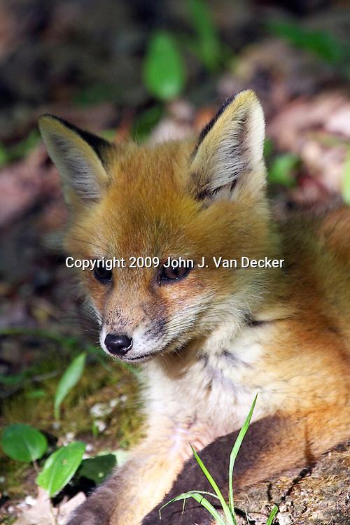 Red Fox kit closeup