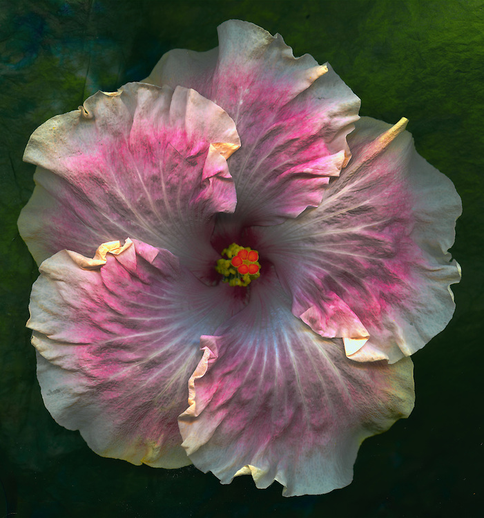 "Tropical hibiscus ""Marla's Song"" / #VAR324"