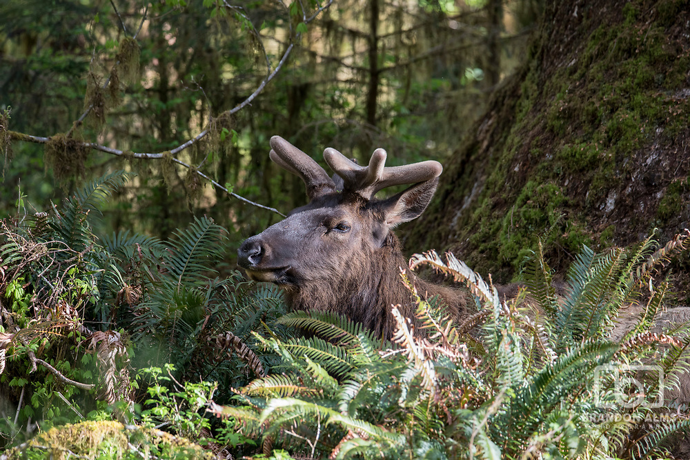 A large Bull Roosevelt Elk peeks out its head among the ferns in the Hoh Rainforest at Olympic National Park Washington. Photo by Brandon Alms Photography