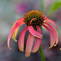 """Echinacea 'Tomato Soup'.Stunning warm, tomato-red flowers to 5"""" wide. A real treat to 3' tall and nearly as wide covered with flowers till frost. Plants are well branched and show excellent vigor.Easy to grow in full sun with good drainage."""