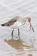 Bar-tailed Godwit, Limosa lapponica, a wading wild bird with long pointed bill beak feeding on worm, in Norfolk, UK