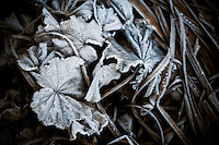 Geranium leaves iced with hoar frost.
