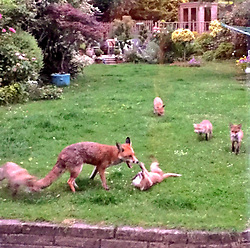 © London News Pictures. 07/08/2017. Leicester, UK. Annie Brookes captured seven foxes playing together in her back garden in Leicester, England. The family of three adult foxes and five cubs (one not in pictures) have become regular visitors to her property in a city famous for its football club Leicester City, nicknamed The Foxes. The pictures show the fox cubs relaxed as they play in the garden, even when they are watched over by the family dog. Photo credit: Annie Brookes/LNP