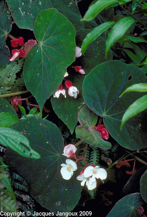 Begonia (unidentified species) growing among the rocks in an old quarry, Atlantic forest, Serra do Mar, Sao Paulo State, Brazil.