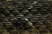 A rattlesnake slithers across a pit during the 54th annual Rattlesnake Roundup at Nolan County Coliseum in Sweetwater, Texas on Sunday, March 11, 2012. The Sweetwater Rattlesnake Roundup is the world's largest and takes place every second weekend in March.