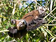 Brown capuchin monkeys n the Manu cloudforest, Peru