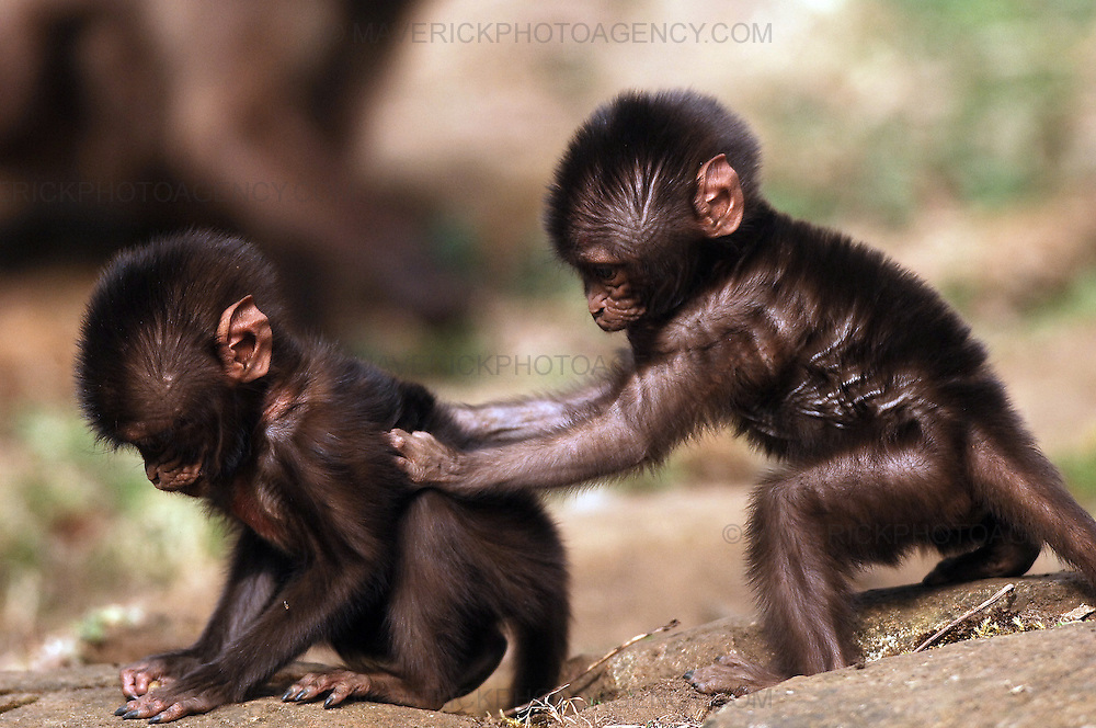 Edinburgh Zoo has welcomed the first of its spring arrivals in the form of three baby gelada baboons. The new additions, which are the first gelada babies to born at the Zoo, have been named Chandu, Chibale and Chiku.