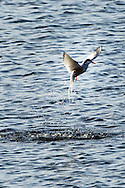 Arctic Tern ( Sterna Paradisea )<br /> Cleaning the shores of Svalbards trip<br /> Linking Tourism &amp; Conservation (LT&amp;C)<br /> Day02 29/08/2015<br /> Svalbard Islands Aug. 27 -Sept.6th  2015 <br /> Photo G.Scala/Deepbluemedia