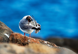 Swallow-tailed Gull (Creagrus furcatus) cleaning feathers, Galapagos, Equador