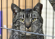 Wantagh, New York, USA. 7th February 2016. Sitting in his cage, Woodbury, a friendly tabby cat, is available for adoption during Last Hope Animal Rescue's Open House, during Hallmark Channel Kitten Bowl III. The adoption center's volunteers and visitors watched the game on TV and cheer on their team, the Last Hope Lions. Over 100 adoptable kittens from Last Hope Inc and North Shore Animal League America participated in the taped games, and the Home and Family Felines won the 2016 championship, which first aired the day of Super Bowl 50.