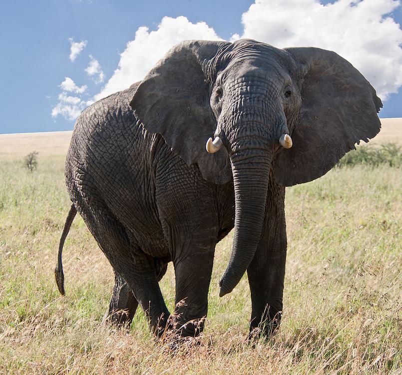 Aggressive elephant bull