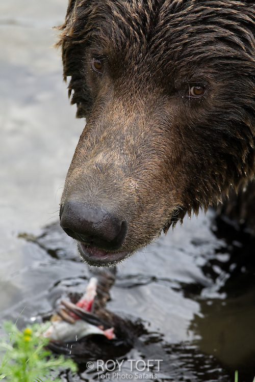 Close-up of a brown bear feeding on salmon, Katmai National Park, Alaska