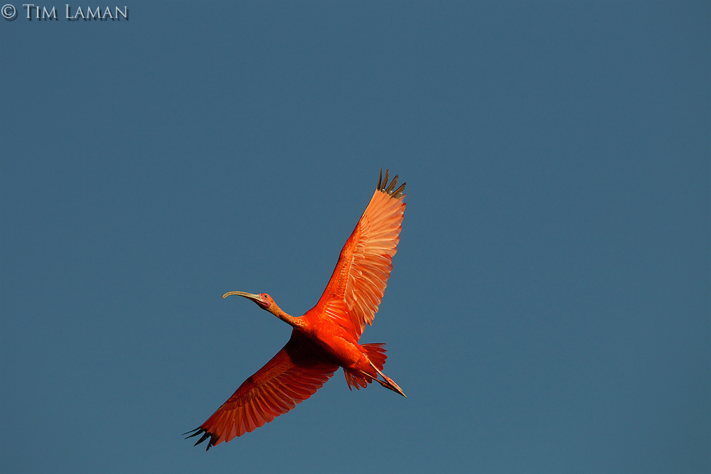 A Scarlet Ibis (Eudocimus ruber) flying though the sky in Delta Amacuro, Venezuela.