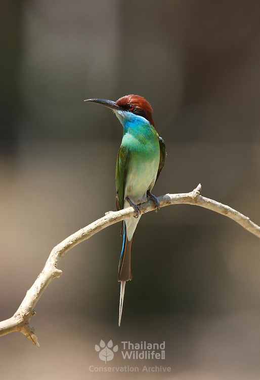 The blue-throated bee-eater (Merops viridis) is a species of bird in the family Meropidae.<br /> <br /> Its natural habitat is subtropical or tropical mangrove forests.<br /> Its natural habitat is subtropical or tropical mangrove forests.