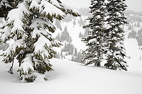 snowladen Subalpine Fir trees a Paradise Valley, Mount Rainier National Park, Washington, USA