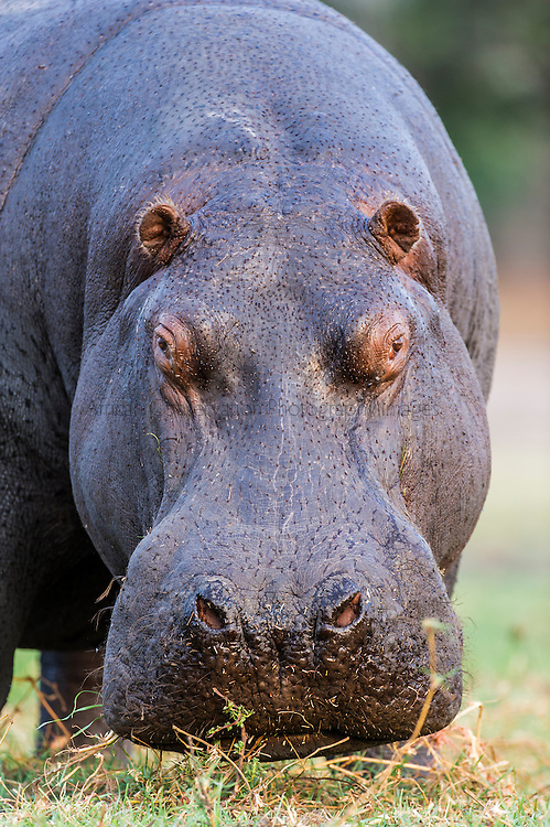Hippo bull portrait, Chobe River, Kasane, Botswana.