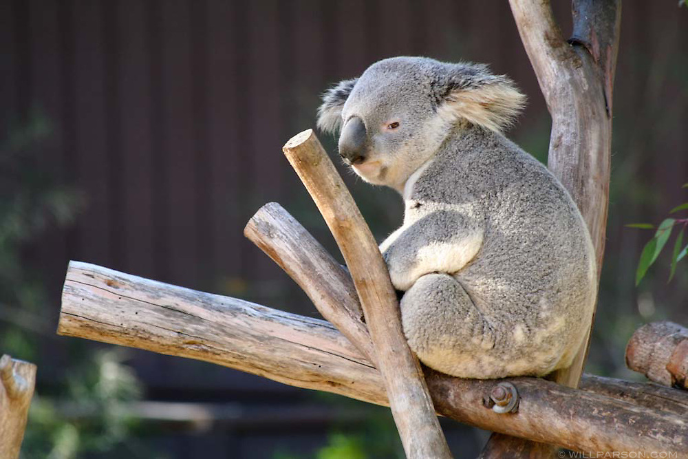 A koala at the San Diego Zoo