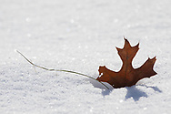 A Northern Pin Oak leaf (Quercus ellipsoidalis) is caught in a track in a sparkling bed of snow.
